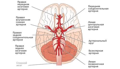 Развитие артерий виллизиева круга